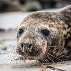 Free Grey Seal &x28;halichoerus Grypus&x29; Royalty Free Stock Photos - 36369838