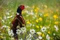 Free Pheasant Stock Photo - 36375890
