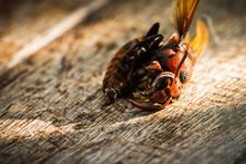 Free Dead Wasp Royalty Free Stock Photos - 36374908