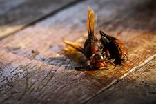 Dead Wasp Stock Image