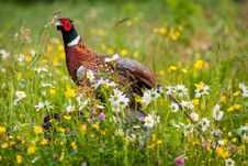 Free Pheasant Stock Images - 36375914