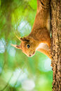 Free Squirrel Royalty Free Stock Images - 36381499