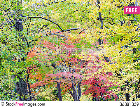 Free Japanese Maple Leaf In Autumn Season Royalty Free Stock Images - 36381359