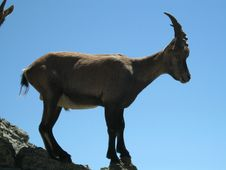 Free Alpine Ibex  &x28;Capra Ibex&x29; Stock Photo - 36380470