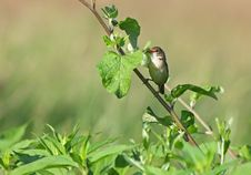 Free The Common Whitethroat Stock Photo - 36383890