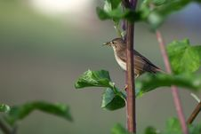 Free The Common Whitethroat Royalty Free Stock Image - 36383896