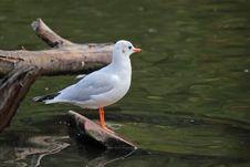 Free The Black-headed Gull Stock Photo - 36383900