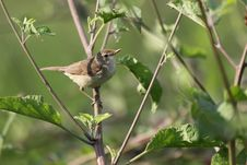 Free The Common Whitethroat Stock Photo - 36383910