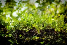 Free Fern Stock Photography - 36387392