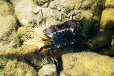 Free Small Crab In Water Of The Mediterranean Sea Stock Photo - 36389230