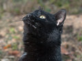 Free Portrait Of Black Cat Stock Image - 36391311