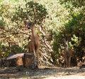 Free Pair Of Black-tailed Bucks Stock Photos - 36392153