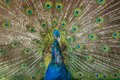Free Peacock Showing Its Beautiful Feathers. Royalty Free Stock Photos - 36397478