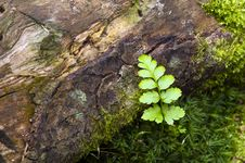 Free A Fern Royalty Free Stock Image - 36390016