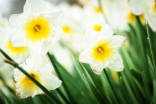 Free Daffodil Stock Photography - 36394952