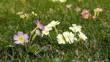 Free Primrose Flowers Stock Image - 36396501