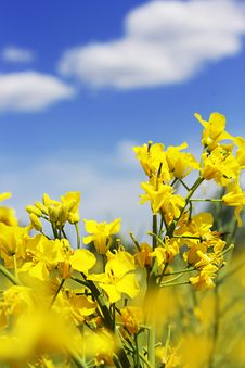 Rapeseed Flowers And Blue Sky With Clouds Stock Photos