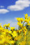 Free Rapeseed Flowers And Blue Sky With Clouds Stock Photos - 36397263