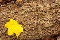 Free Yellow Maple Leaf On Trunk Stock Images - 3644554