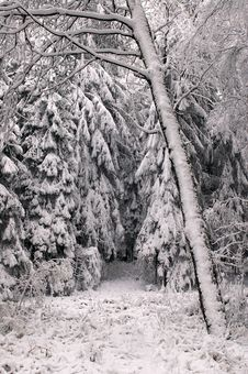 Free Winter Forest Royalty Free Stock Images - 3640109