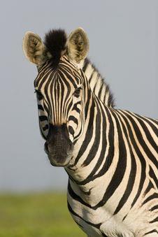 Burchells Zebra Stock Images