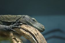 Free Crocodile Monitor Royalty Free Stock Images - 3640519