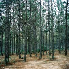 Free Straight Trees In Forest Stock Images - 3640574