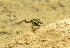 Leopard Frog Floating