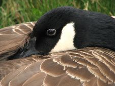 Free Resting Canada Goose Royalty Free Stock Images - 3642609