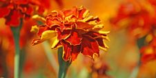 French Marigolds Royalty Free Stock Image