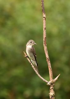 Free Willow Flycatcher Royalty Free Stock Image - 3642696