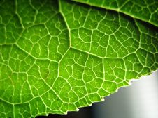 Free Patterned Leaf Royalty Free Stock Photography - 3642797
