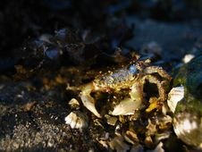 Free Shore Crab Royalty Free Stock Photos - 3642808
