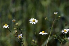 Free Daisy Royalty Free Stock Image - 3643856