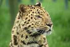 Free Amur Leopard Royalty Free Stock Photos - 3644308