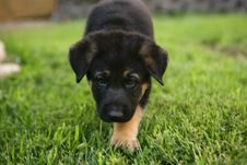 German Shepherd Puppy Royalty Free Stock Photography