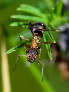 Free Ant Royalty Free Stock Photos - 3645538