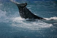 Killer Whale Having Fun In The Ocean Royalty Free Stock Images