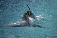 Killer Whale Having Fun In The Ocean Stock Photos