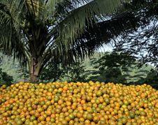 Free Oranges Stock Photography - 3646982