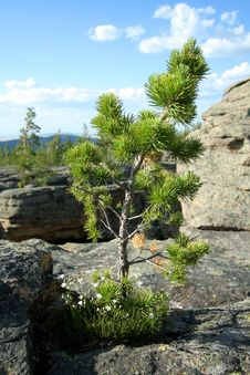 Pine On Rock Stock Images