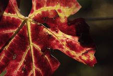 Free Colors Of Autumn Grapevine (Gamay) Stock Images - 3647444
