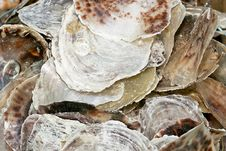 Oyster Shell Stock Photos