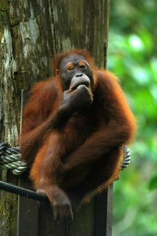Orangutan Cleaning Teeth Royalty Free Stock Images