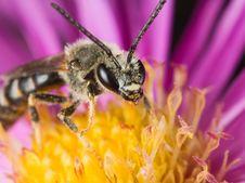 Free Bee Royalty Free Stock Photo - 3648395
