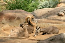 Bighorn Sheep Family Stock Images