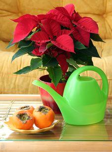 Euphorbia Pulcherrima Stock Photo
