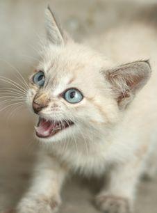 Sight Of A Small Grey Kitten Stock Photos