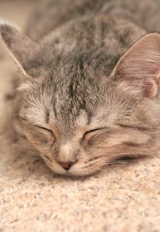 The Grey Cat Which Sleeps Royalty Free Stock Image