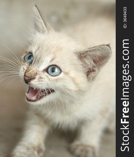 Sight of a small grey kitten